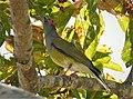 Australasian Figbird. Sphecotheres vieilloti , male (48623361443).jpg