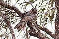 Australian Owlet-nightjar (Aegotheles cristatus) (8079573328).jpg