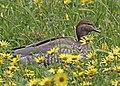 Australian Wood Duck (f) JCB.jpg