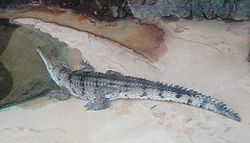 Australianfreshwatercrocodile.jpg