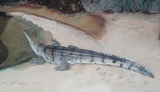Lakes Argyle and Kununurra Ramsar Site - Freshwater crocodile