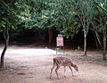 Axis axis spotteddeer at Kambalakonda Visakhapatnam.jpg