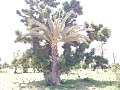 BAOBAB tree with DATE PALM tree sharing the same root. in Gezawa village Kano state (8).jpg