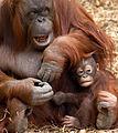 Baby Orangutan (7109466297).jpg