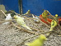 Baby parakeets at Serramonte Pet Shop 2.JPG