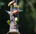 Backyard Bird Feeder (3342581902).jpg
