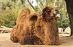 Bactrian camel.jpg
