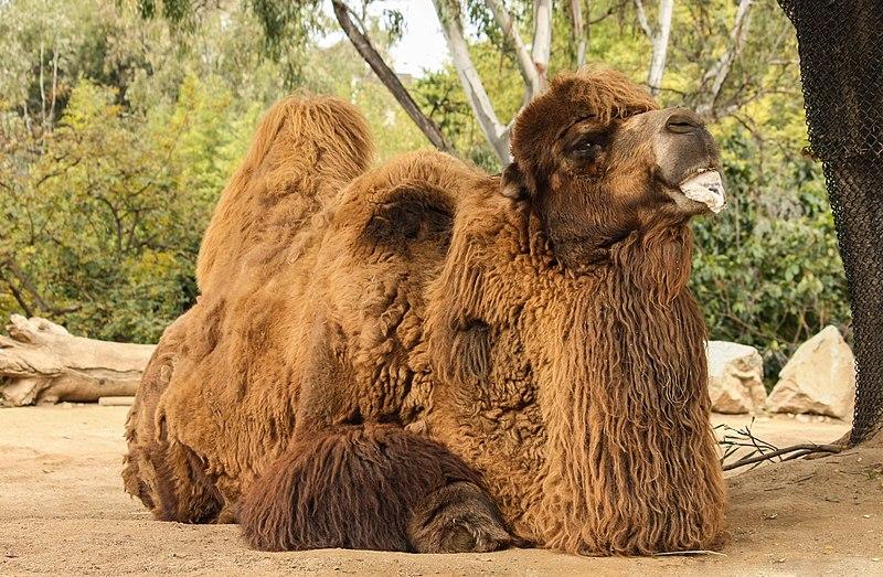 Random Camel