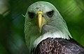 Bald-eagle-wildlife 23 - West Virginia - ForestWander.jpg