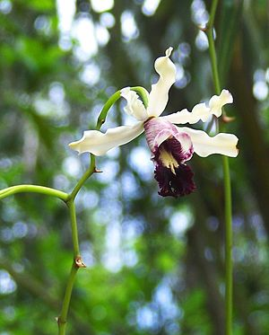 Queen Elizabeth II Botanic Park - Wild Banana Orchid, QEII Botanic Park, Grand Cayman
