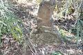 Banksia speciosa graft base on serrata ANBG.JPG