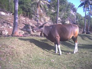 Bali cattle - Image: Banteng Domesticated Bali Bull