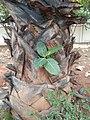 Banyan tree in palm tree.jpg