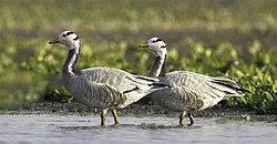 Bar-headed Goose, Bhigwan, Maharashtra B001.jpg