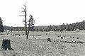Barney Flat stumps.jpg