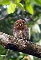 Barred Jungle Owlet-1 (cropped).jpg