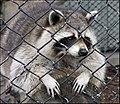 Barred racoon - Flickr - xprogrammer.jpg