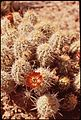 Barrel cactus in bloom. Hovenweep National Monument, 05-1972. (7065506165).jpg
