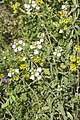 Bartsia trixago-2987.jpg