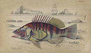 "Painted comber - Drawing of a ""Lettered Serramus"" from The natural history of fishes of the perch family - The Naturalist's Library, 1835"