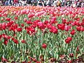 Beautiful Red Tulips.jpg
