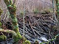Beaver dam - four months on - geograph.org.uk - 1623430.jpg