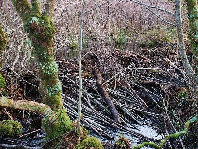 Beaver dam - four months on - geograph.org.uk - 1623430