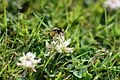 Bee (19549108492).jpg