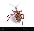 Bee Assassin (Reduviidae, Apiomerus spissipes) (27596377801).jpg