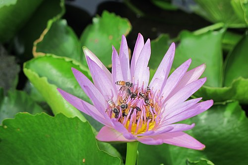 Bee Looking for Nectar.jpg