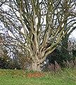 Beech pollard - Box Hill, Surrey.jpg