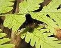 Beefly (42850039832).jpg