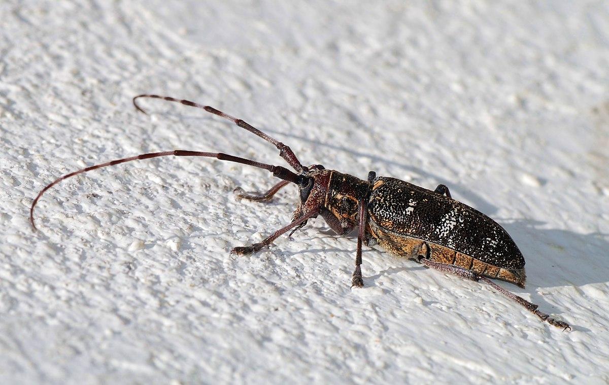 Moringa tree infested with Longhorned beetle larvaeCerambycidae larvae  RIP old friend