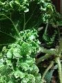 Begonia leave.jpg