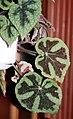Begonia masoniana 02.jpg