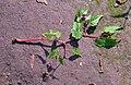 Begonia sutherlandii.jpg