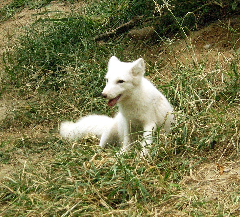 Beijingzoo white fox
