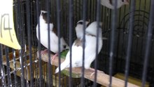 File:Bengalese finches in a cage - aug 2012.ogv