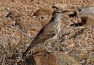 Benguela long-billed lark species of bird