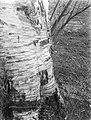Berkenboom, waarschijnlijk in Artis, Bestanddeelnr 189-0121.jpg