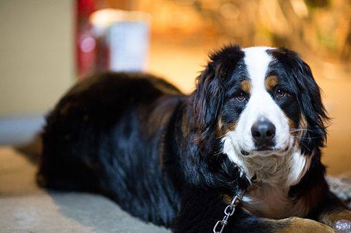 Bernese Mountain Dog lying down