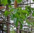 Betula alleghaniensus 2 (14998509352).jpg