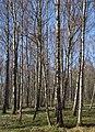 Birch forest Gullmarsskogen 11.jpg