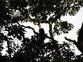 Bird Great Hornbill Buceros bicornis IMG 8659 08.jpg
