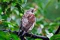 Bird Romania (14901668857).jpg