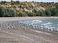 Birds on the Beach - panoramio.jpg