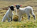 Black-Faced lambs - geograph.org.uk - 792523.jpg