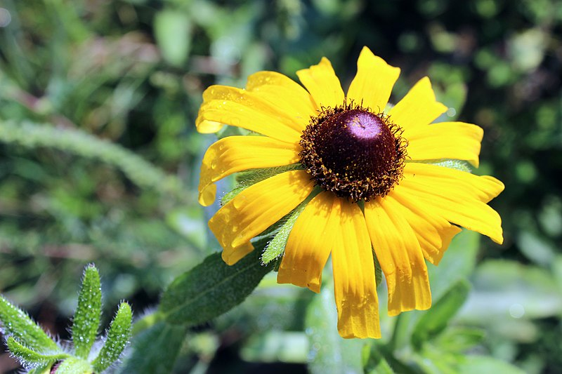 File:Black-eyed Susan at Pierce Cedar Creek Institute (15438735496).jpg