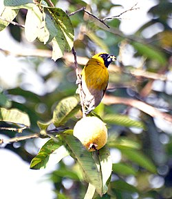 Black-faced Grosbeak 1.jpg