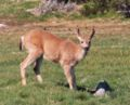 Black-tailed deer (male), Olympic National Park, USA.jpg
